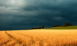 Уборка пшеницы в непогоду