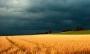 Прибирання пшениці в негоду